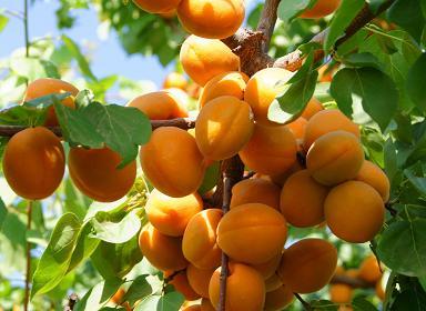 陕西樱桃树苗-陕西杏树苗-陕西柿子树苗